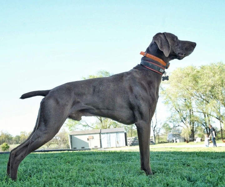 Missouri German Shorthairs
