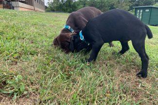 German Shorthair Puppies for Sale Missouri